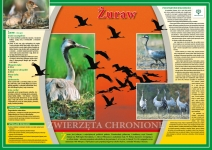 Zwierzęta chronione - Żuraw