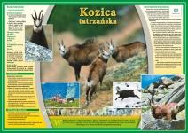 Zwierzęta chronione - Kozica tatrzańska