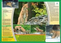 Zwierzęta chronione - Ryś