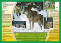 Zwierzęta chronione - Wilk